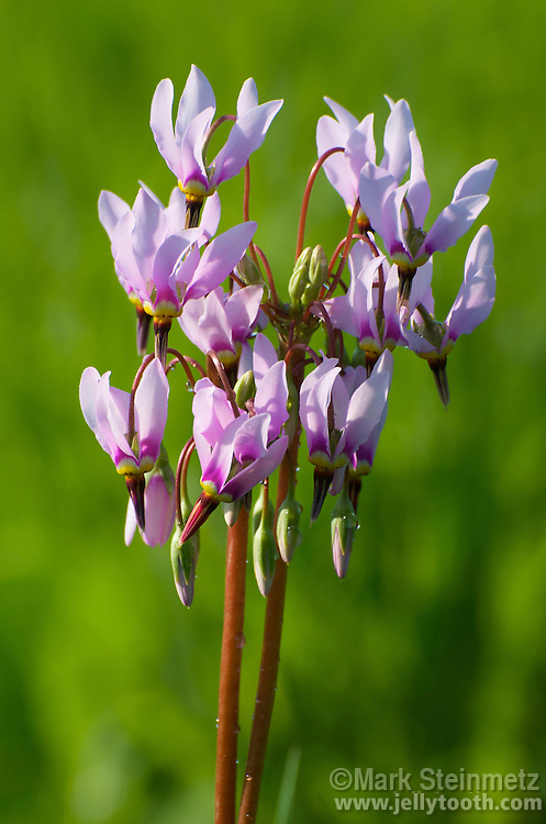 Cluster of Shooting Star wildflowers (Dodecatheon meadia). Eastern US species which blooms in late spring. Habitats include prairies, open woods, limestone/dolomite bluffs, rich moist calcareous woodlands. Another common name is Pride of Ohio. Flower color varies from white to pink