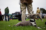Grey dog at a dog show with owner