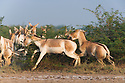 Dominant male Indian wild ass chasing female to mate (Equus hemionus khur), dry season
