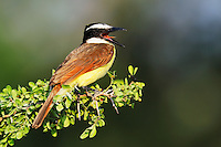 Great Kiskadee (Pitangus sulphuratus), adult calling, Dinero, Lake Corpus Christi, South Texas, USA