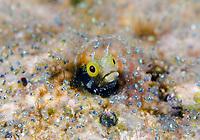 secretary blenny, Acanthemblemaria maria, in its den, surrounded by eggs of sargeant major, Abudefduf saxatilis, Bonaire, ABC Islands, Netherlands Antilles, Caribbean Sea, Atlantic Ocean