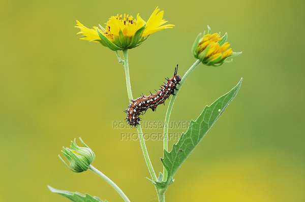 Caterpillar (Lepidoptera), adult walking on Huisache Daisy (Amblyolepis setigera), Laredo, Webb County, Texas, USA