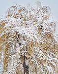 Weeping willow (Salix sp.) Methow Valley, Washington, USA