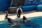 Trainers communicating with Killer Whale (orcinus orca) while performing tricks during show at Sea World, near San Diego, California