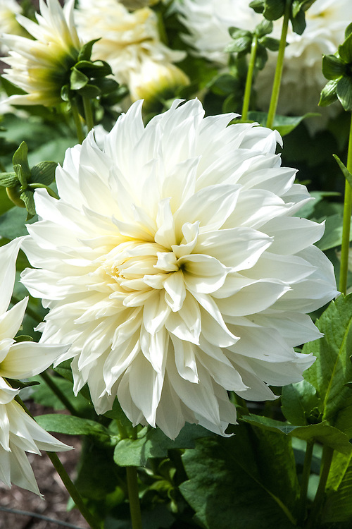 Dahlia 'Fleurel', early September. A huge white Fimbriated or Decorative  dahlia.