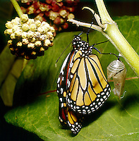 MONARCH BUTTERFLY<br /> With Chrysalis