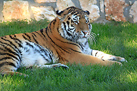 Stock image - Siberian tiger resting on grass in an animal park in Paphos,Cyprus.