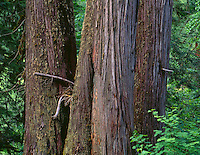 ORCAC_028 - USA, Oregon, Willamette National Forest, Middle Santiam Wilderness, Trio of ancient western red cedars (Thuja plicata) in old growth forest.