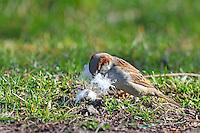 Hausspatz, Männchen sammelt Nistmaterial, Haus-Spatz, Spatz, Haussperling, Haus-Sperling, Spatzen, Passer domesticus, House Sparrow, male, Sparrows, Moineau domestique