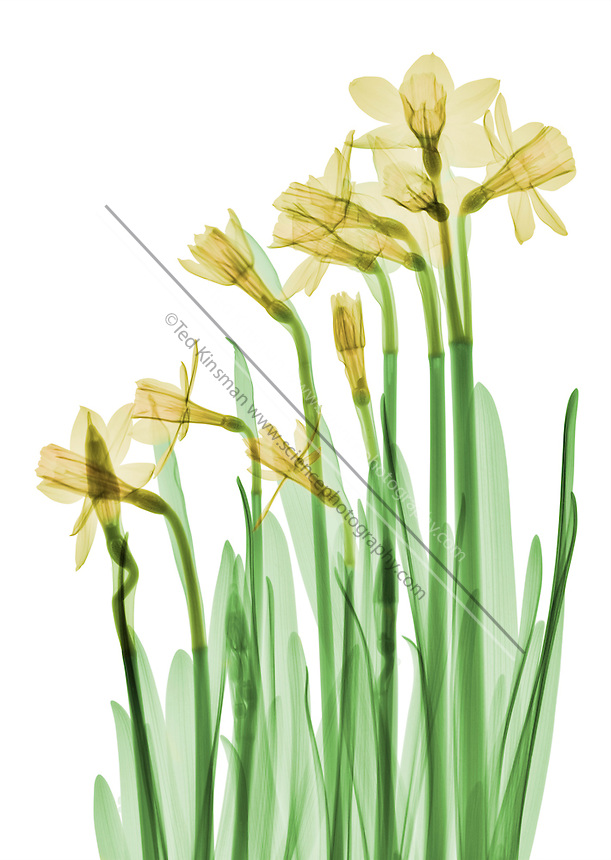X-ray of daffodil flowers (Narcissus).