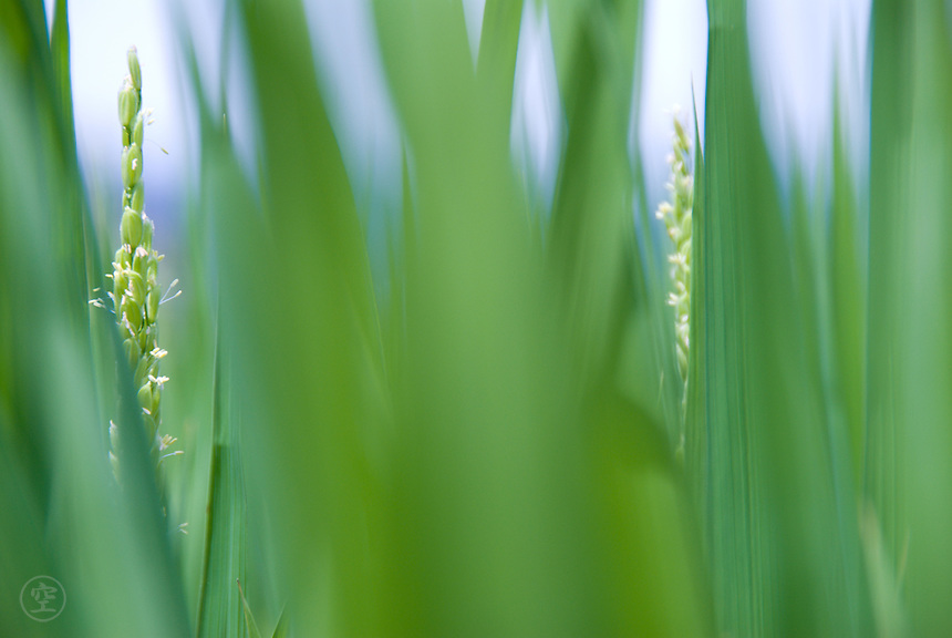 Rice ripening amongst green rice leaves in a paddy field in Okaya, Nagano Prefecture, Japan.