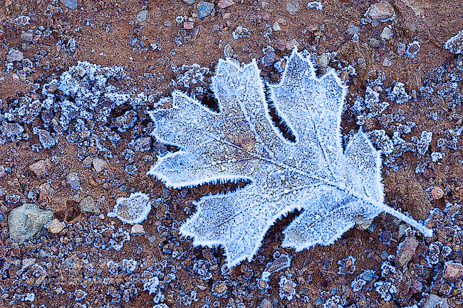 Digital Art of a frozen Oak Leaf, created from a original photograph