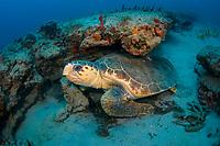 loggerhead sea turtle, Caretta caretta, Palm Beach, Florida, USA, Caribbean Sea, Atlantic Ocean