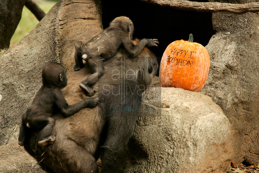 A rare set of western lowland gorilla twins--Kali (left), a male, and Kazi, a female--with their mother, 22-year-old Kuchi, at Zoo Atlanta. The twins turned one year old today and are the only twins in a captive population to be entirely mother-reared. &quot;The decision to allow Kuchi to raise both of her offspring was a difficult one and unprecedented,&quot; said Dr. Tara Stoinski, Zoo Atlanta manager of conservation partnerships. &quot;But we decided to stick to our philosophy that mother-rearing is best. With this success we have established a new precedent for the management of gorilla offspring in zoos.&quot;<br />