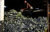 TANZANIA Tanga, Sisal farming and industry, Katani Ltd., processing of leaves to fibre / TANSANIA Tanga, Sisal Industrie, Katani Ltd., Gewinnung der Faser aus den Blaettern der Sisalpflanze