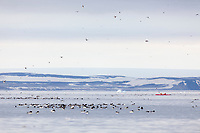 Kayaking along the bird cliffs of Alkefjellet, Svalbard