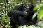 Africa, Uganda, Kibale National Park, Ngogo Chimpanzee Community. Wild Chimpanzee, Garrett