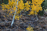 Young aspen trees in autumn along scenic highway 12 in the Dixie National Forest, Utah, USA