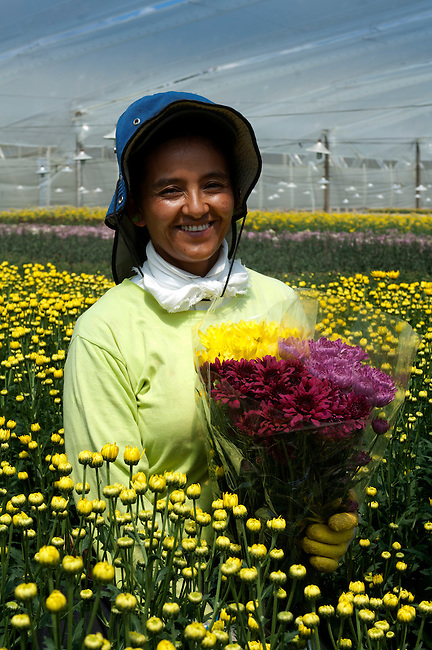 Portrait of a flower farm worker holding a bouquet of Chrysantemums.  Colombia is one of the world's biggest exporters of cut flowers because of its year round spring like temperatures.