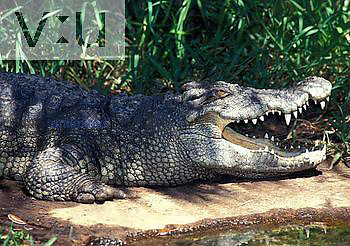 Siamese Crocodile (Crocodylus siamensis), an endangered species, Southeast Asia.