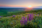 Washington, Steptoe, Palouse. Lupine bloom beneath the setting sun on the side of Steptoe Butte, with the rolling farmlands of the Palouse in Spring.