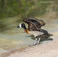 0313-1004  White-faced Whistling Duck Spreading Wings, Dendrocygna viduata  © David Kuhn/Dwight Kuhn Photography.
