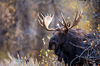 Portrait of a Bull Moose.