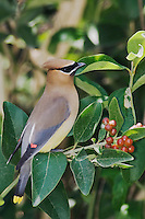 Cedar Waxwing, Bombycilla cedrorum, adult, South Padre Island, Texas, USA, May 2005
