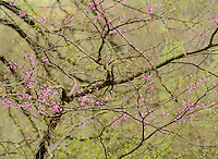 Redbud blossoms stand out in the forest on a spring day, Parke County, Indiana
