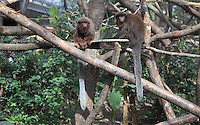 Singes Titi roux (Callicebus cupreus), dans la loge de la Grande Serre, zone Guyane, new Parc Zoologique de Paris, or Zoo de Vincennes, (Zoological Gardens of Paris, also known as Vincennes Zoo), Museum National d'Histoire Naturelle (National Museum of Natural History), 12th arrondissement, Paris, France. Picture by Manuel Cohen