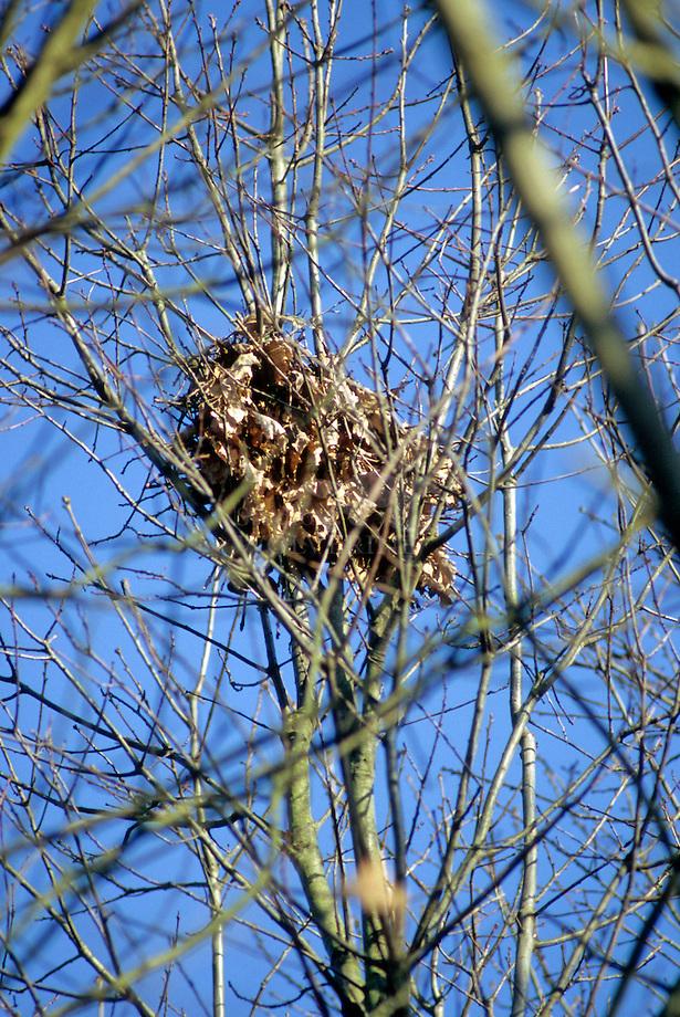 Eekhoorn (Sciurus vulgaris),winternest. .