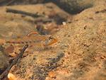 Speckled Darter Breeding Male