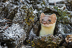 Long-tailed weasel in log. Grand Teton National Park, Wyoming.