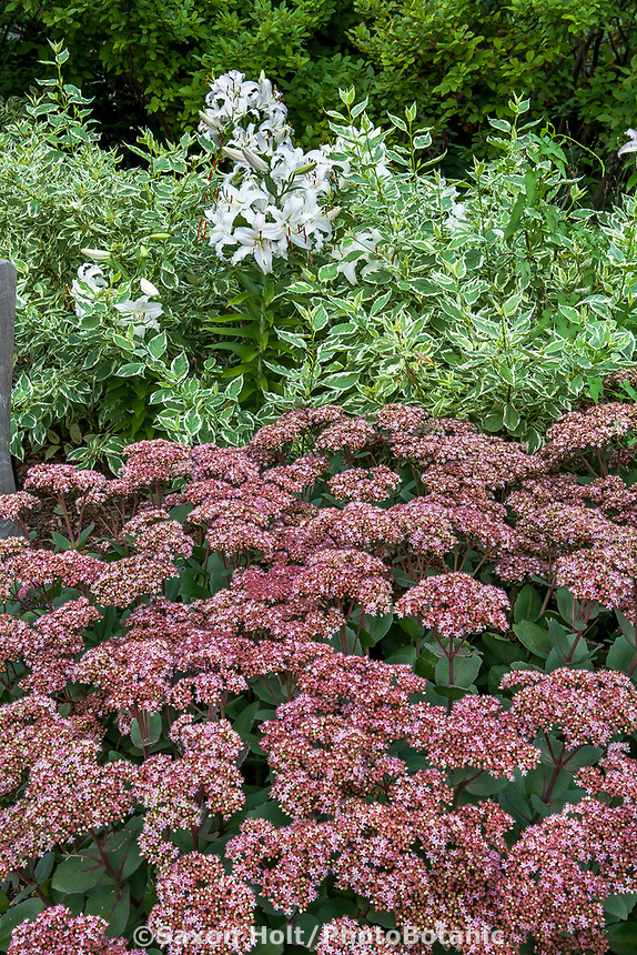 Hardy succulent Sedum 'Matrona' flowers in garden under variegated shrub