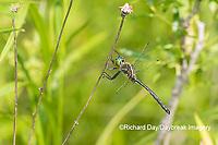 06544-00819 Hine's Emerald (Somatochlora hineana) male Kay Branch Fen Reynolds Co. MO
