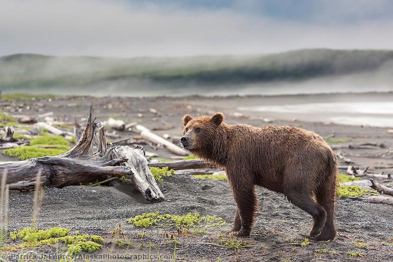 Brown bear among the driftwood along the shore of coastal, Katmai National Park, Alaska Peninsula, southwest Alaska.