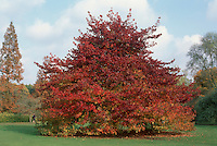 Sweetgum tree in autumn color showing entire tree Liquidambar styraciflua 'Worplesden'