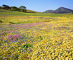 USA, California, Cuyamaca Rancho State Park, San Diego.   A Vibrant Carpet of Wildflowers after the Cedar Fire and record rains.