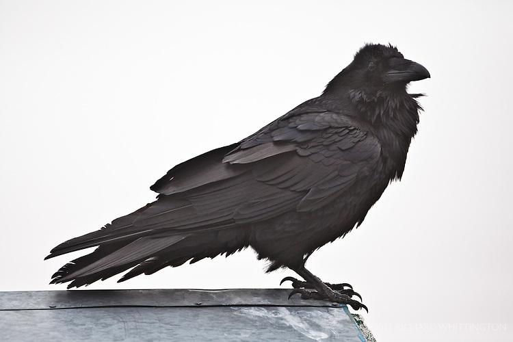 Raven, Hurricane Ridge, Olympic National Park.