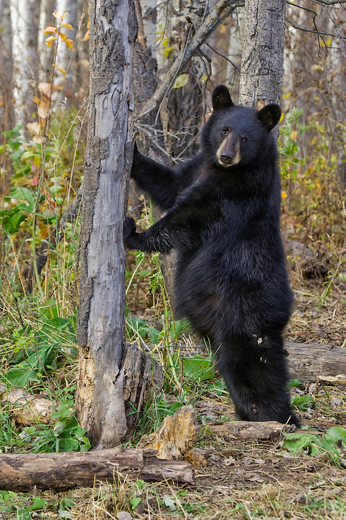 Black Bear cub leaning up against a tree