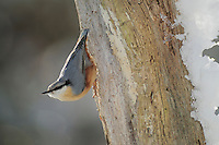 Eurasian Nuthatch (Sitta europaea), adult, Zug, Switzerland, December 2007