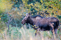 Mother Moose (Alces alces) positioned herself between her calf and the hordes of human onlookers stopped along the side of the road.  We photographed her from a safe distance and steered clear of her calf.  Jasper National Park, Alberta, Canada.