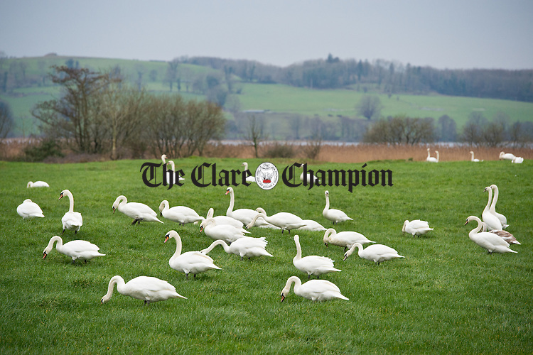 Swans congregate in a lush pasture adjacent to Cullaun Lake. Photograph  by John Kelly.