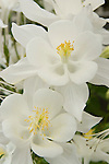 SWAN WHITE COLUMBINE, AQUILEGIA HYBRID