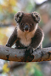 Koala, Kangaroo Island, South Australia, Australia