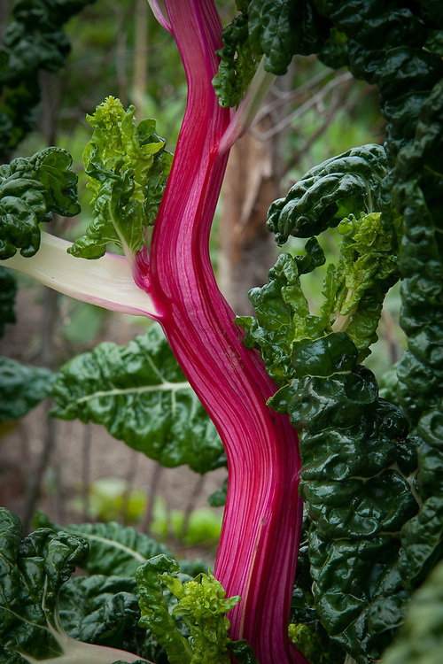 Swiss chard 'Peppermint', late May.