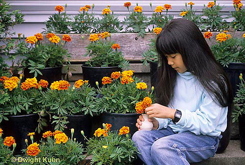 HS18-132z  Girl picking flowers, marigolds - Tagetes spp.