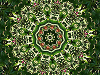 This is the 3rd version of my Burgundy and Green floral mandala. It is sometimes hard to decide which one is the best version and all seem so unique, so I have decided to post all 3 of them. I have created this image by digitally enhancing one of my photographs from Granada gardens in Spain. It is full of vibrant colours and you can almost feel the sunshine of the place where I have photographed this flowers.  This artwork could work well to enhance Feng Shui of your place, particularly for wood and fire related areas.