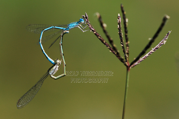 Familiar Bluet (Enallagma civile), pair mating on grass, Laredo, Webb County, South Texas, USA