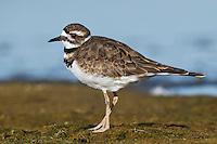 Killdeer - Charadrius vociferus - juvenile